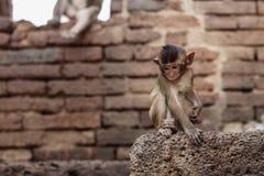Os macacos sentam-se no tijolo Fotografia de Stock Royalty Free