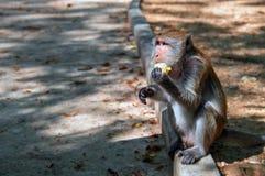 Os macaques do macaco sentam-se no freio pela estrada e comem-se o milho Retrato da vista lateral Imagem de Stock Royalty Free