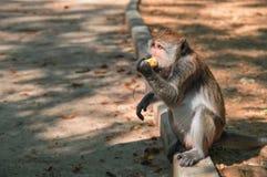 Os macaques do macaco sentam-se no freio pela estrada e mordem-se o milho Retrato da vista lateral Imagens de Stock