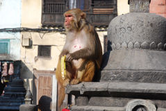 Os Macaques imitam comer o banana-Macaco Templo-Kathmandu Fotografia de Stock