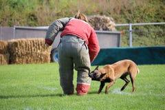 Os malinois do cão devem olhar a mala de viagem e atacar o atacante para a competição canina do esporte fotografia de stock