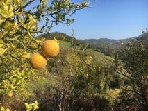 Os mandarino selvagens Imagem de Stock Royalty Free