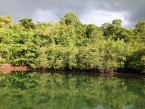 Os manguezais reflorestam Fotografia de Stock