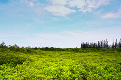 Os manguezais reflorestam Foto de Stock Royalty Free