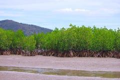 Os manguezais reflorestam Imagem de Stock Royalty Free