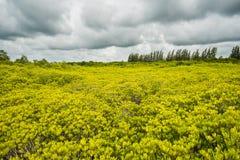 Os manguezais reflorestam Fotos de Stock Royalty Free
