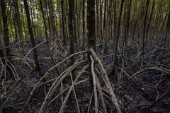 Os manguezais reflorestam Imagens de Stock