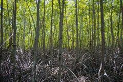 Os manguezais verdes da floresta em Pranburi Forest Park, Prachuap Khiri Khan, Tailândia Foto de Stock