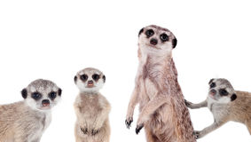 Os meerkats no branco fotos de stock royalty free
