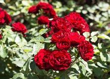 Os melhores arbustos de aumentaram em meu jardim Fotografia de Stock