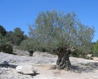 Os mil anos de idade Olive Tree france do sul Imagem de Stock Royalty Free