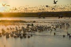Os milhares de gansos de neve e de guindastes de Sandhill sentam-se no lago no nascer do sol após o gelo adiantado do inverno no  Fotos de Stock