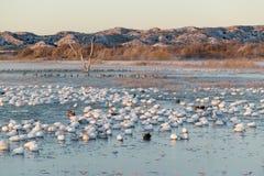 Os milhares de gansos de neve e de guindastes de Sandhill sentam-se no lago no nascer do sol após o gelo adiantado do inverno no  Fotografia de Stock