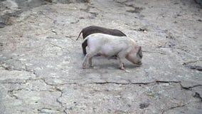 Os mini porcos são pastados no as rochas moídas vídeos de arquivo