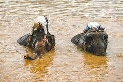 Os motoristas do elefante lavam, banham seus animais na posição de Mekong River em um elefante foto de stock