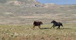 Os mustang que correm livre no McCullough repicam a escala do cavalo selvagem Imagem de Stock