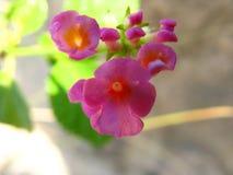 Os mutabilis cor-de-rosa pequenos de Stachytarpheta florescem no fim acima foto de stock royalty free