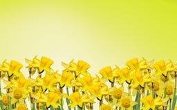 Os narciso amarelos florescem, fecham-se acima, fundo amarelo do degradee Saiba como o narciso amarelo, daffadowndilly, narciso,  Fotografia de Stock Royalty Free