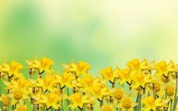 Os narciso amarelos florescem, fecham-se acima, verde para amarelar o fundo do degradee Saiba como o narciso amarelo, daffadowndi Imagens de Stock