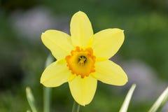 Os narcisos amarelos amarelos da mola florescem, vida amarela fresca do narciso ainda no fundo verde do jardim Fotografia de Stock