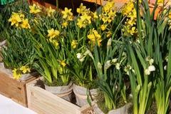 Os narcisos amarelos em pasta na exposição nos fazendeiros introduzem no mercado em março Imagem de Stock