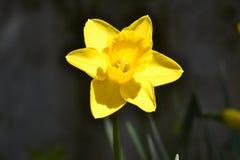 Os narcisos amarelos fecham-se acima Imagem de Stock Royalty Free