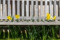 Os narcisos amarelos projetam-se através de um banco ripado de madeira - paisagem Imagem de Stock Royalty Free