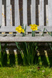 Os narcisos amarelos projetam-se através de um banco ripado de madeira - retrato Foto de Stock