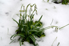 Os nivalis neve-brancos de florescência L de Galanthus do snowdrop Entre a neve fotos de stock