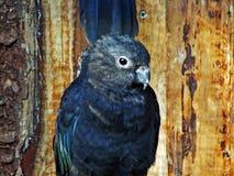 Os notabilis de Nestor do kea ou o Der Kea, Abenteurland Walter Zoo foto de stock royalty free