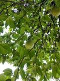 Os objetos da fruta Fotografia de Stock Royalty Free