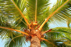 Os oconuts do ¡ de Ð crescem em uma palmeira Fotografia de Stock