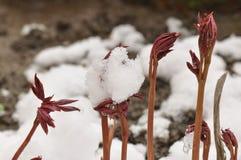 Os officinalis do Paeonia provêm antes de florescer na mola adiantada com neve fotografia de stock royalty free