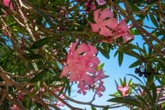 Os oleandros cor-de-rosa são pela costa perto do mar O conceito do turismo e da recrea??o Fundo imagens de stock