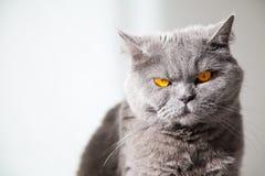 Os olhos alaranjados do gato imagens de stock