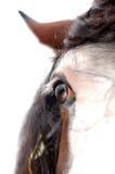 Os olhos azuis do cavalo do funileiro Foto de Stock