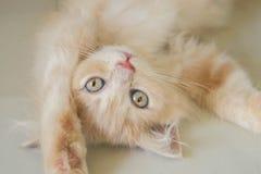 Os olhos azuis para o persa bonito ketten fotos de stock royalty free