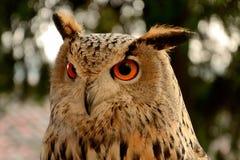 Os olhos bonitos da coruja Fotografia de Stock