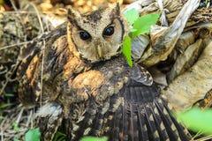 Os olhos da coruja. Foto de Stock