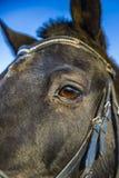 Os olhos de um cavalo Fotos de Stock Royalty Free