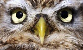 Os olhos de uma coruja Fotografia de Stock