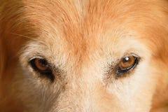 os olhos do cão fecham-se acima, golden retriever imagem de stock
