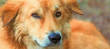Os olhos do cão vermelho Foto de Stock