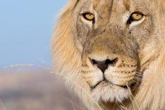 Os olhos do leão Foto de Stock Royalty Free