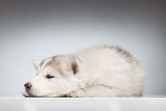 Os olhos sonolentos do cachorrinho ronco abrem Fotos de Stock