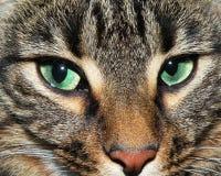 Os olhos verdes bonitos de um gato Imagens de Stock