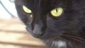 Os olhos verdes do focinho nervoso irritado do gato preto fecham-se acima da emoção video estoque