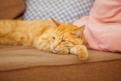 Os olhos withsleepy do gato vermelho encontram-se no sofá com descansos Fotografia de Stock Royalty Free