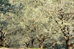 Os oliviers de inclinação colocam, ensolarado, elegante, formando um arco greyed Imagens de Stock