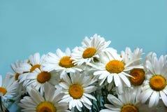 Os-oog-madeliefje bloemen Royalty-vrije Stock Foto's